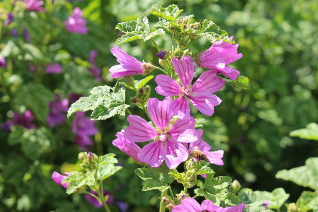 MALVA SYLVESTRIS FLOWER EXTRACT